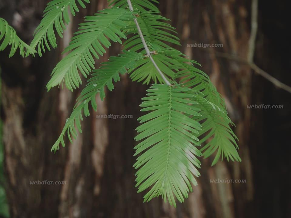 1 - ต้นไม้ซีคัวญายักษ์ ปกป้องตัวเองอย่างไร