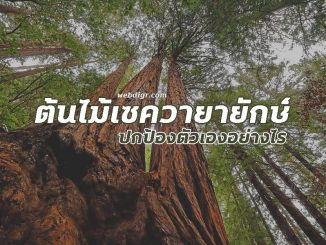ต้นไม้ซีคัวญายักษ์