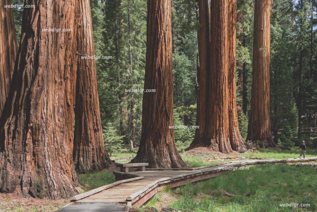 4 5 1024x686 - ต้นไม้ซีคัวญายักษ์ ปกป้องตัวเองอย่างไร