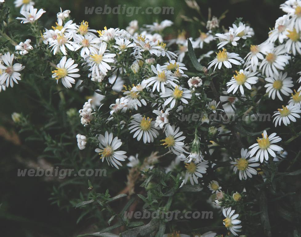 5 1 - ต้นแอสเตอร์ พันธุ์สีขาว