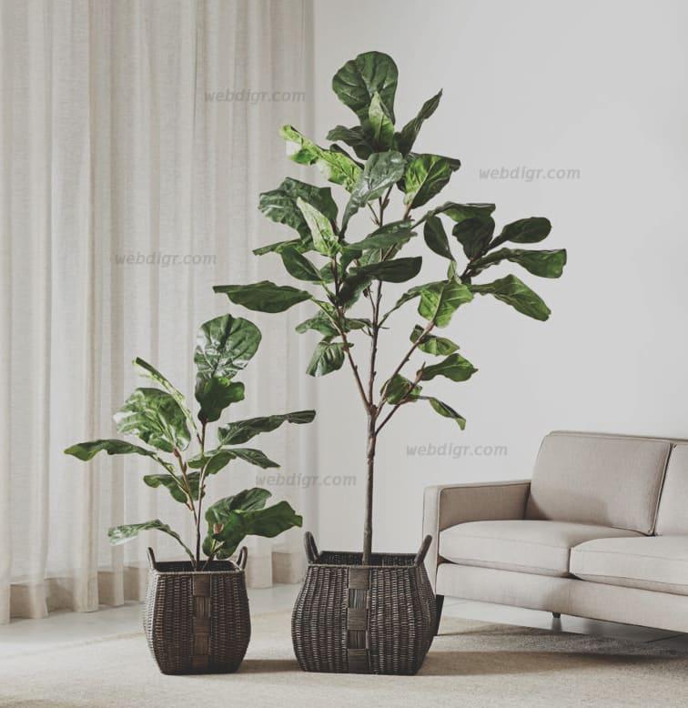Fiddle Leaf Fig Tree4 - การดูแลรักษาต้นไทรใบสัก