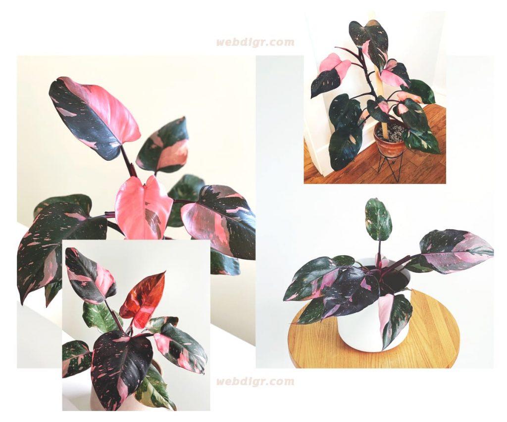 Philodendron Pink Princess 11 1024x853 - ฟิโลเดนดรอนมรกตแดง