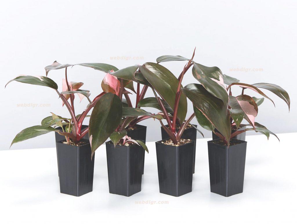 Philodendron Pink Princess 3 1024x771 - ฟิโลเดนดรอนมรกตแดง