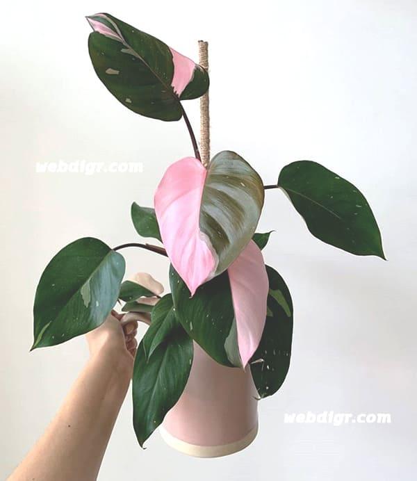Philodendron Pink Princess 4 - ฟิโลเดนดรอนมรกตแดง