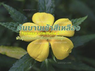 ต้นบานเช้าสีเหลือง