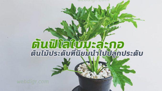 ต้นฟิโลใบมะละกอ