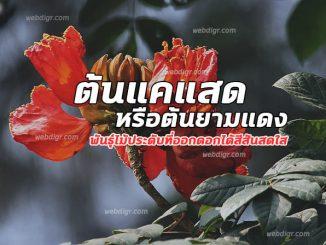 ต้นแคแสด หรือต้นยามแดง