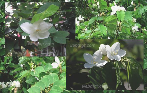 ต้นกาหลง3 - ต้นกาหลง พันธุ์ไม้ดอกสีขาวบริสุทธิ์ สวยงาม สามารถให้ดอกได้ตลอดทั้งปี