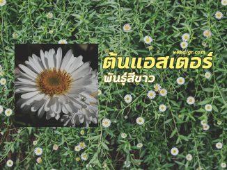 6 2 326x245 - ต้นแอสเตอร์ พันธุ์สีขาว