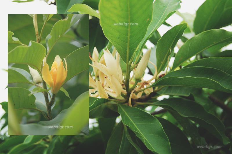 6 - ต้นจำปี พันธุ์ไม้ที่อยู่เคียงคู่ชาวไทยมายาวนาน