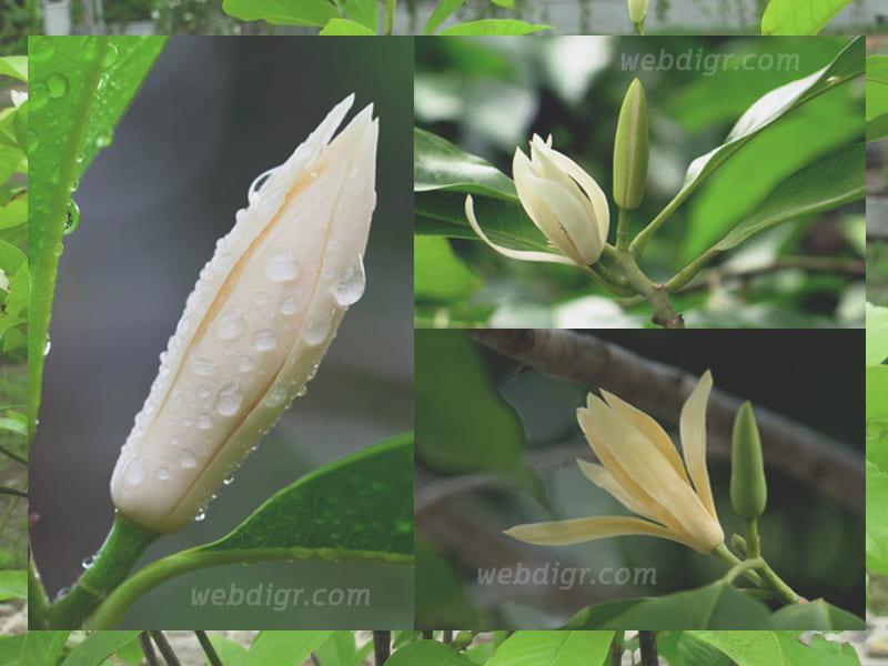 8 - ต้นจำปี พันธุ์ไม้ที่อยู่เคียงคู่ชาวไทยมายาวนาน