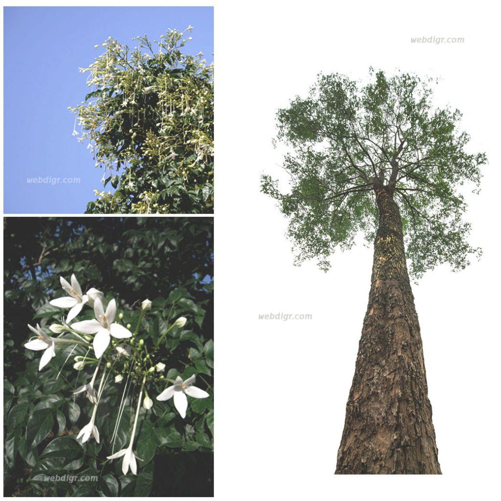 8 1024x1024 - ต้นปีบ พันธุ์ไม้ที่มีดอกสวยงาม
