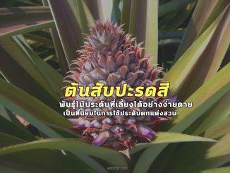 ต้นสับปะรดสี