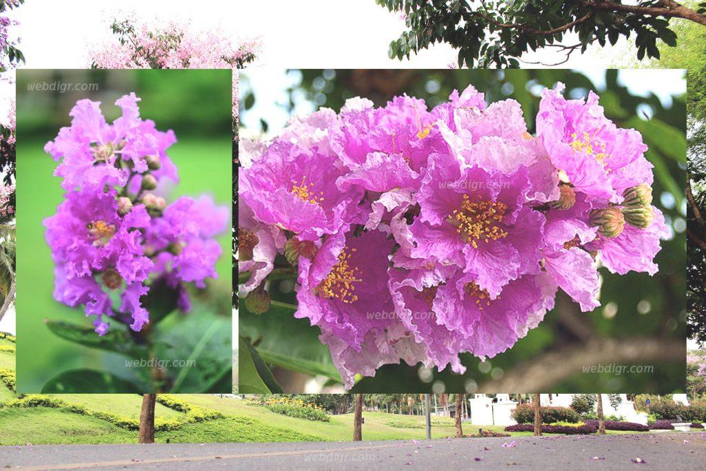"""4 1024x683 - """" ต้นอินทนิลน้ำ """" ต้นไม้ที่นำมาจัดสวนเพื่อให้ร่มเงาภายในสวน"""