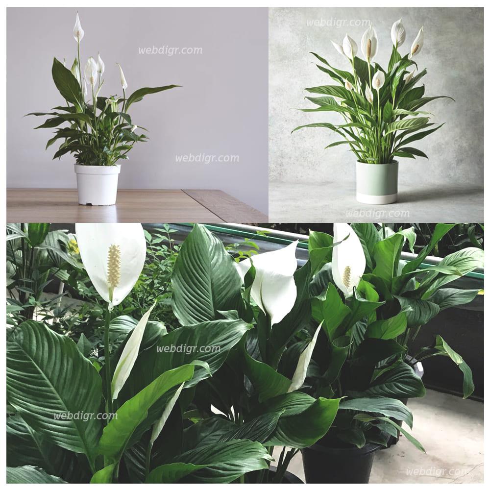 ต้นเดหลี11 - ต้นเดหลี พันธุ์ไม้มงคลฟอกอากาศได้