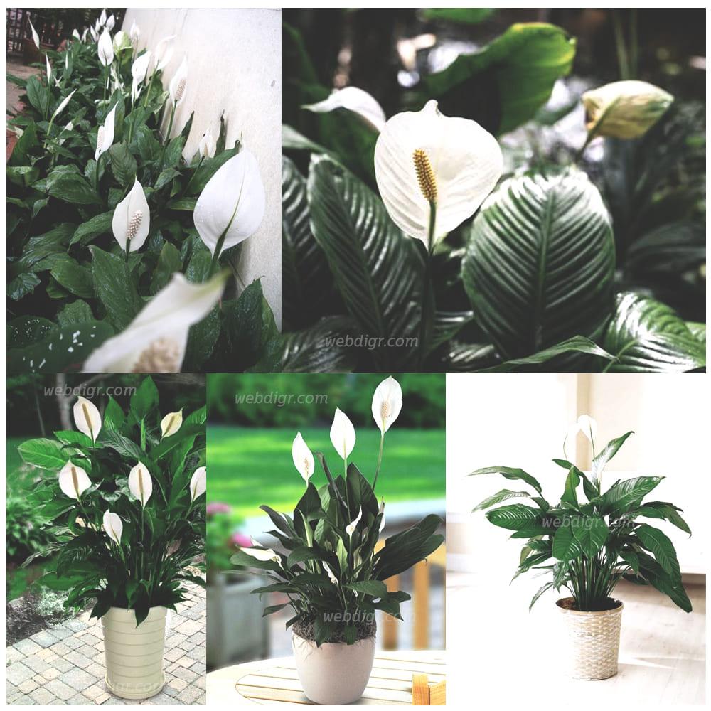 ต้นเดหลี12 - ต้นเดหลี พันธุ์ไม้มงคลฟอกอากาศได้