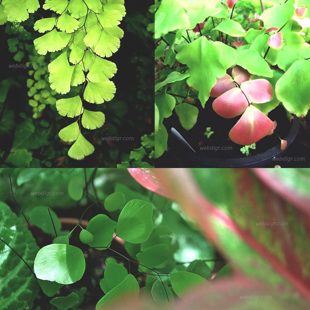 6 - ต้นเฟิร์นก้านดำเปรู พันธุ์ไม้พุ่มช่วยฟอกอากาศ