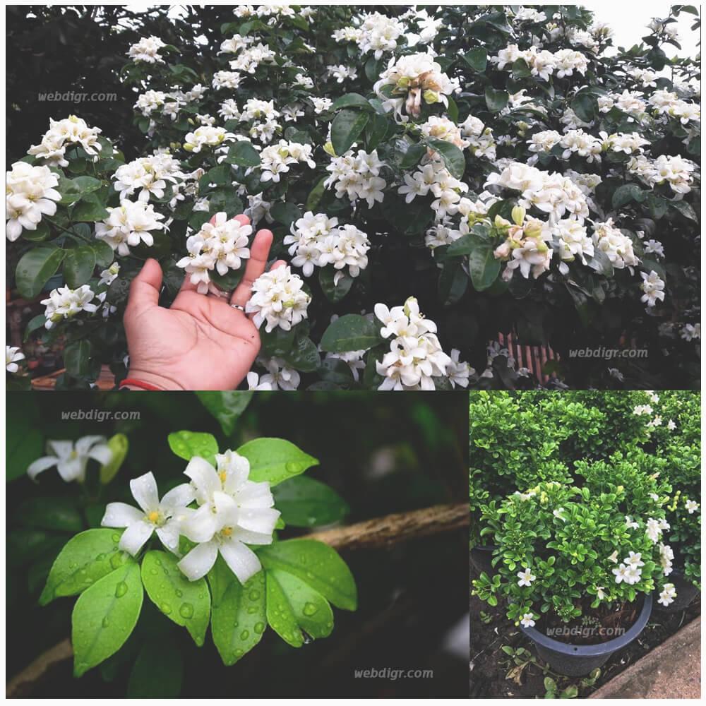 6 - ต้นแก้ว ต้นไม้มงคลของไทย