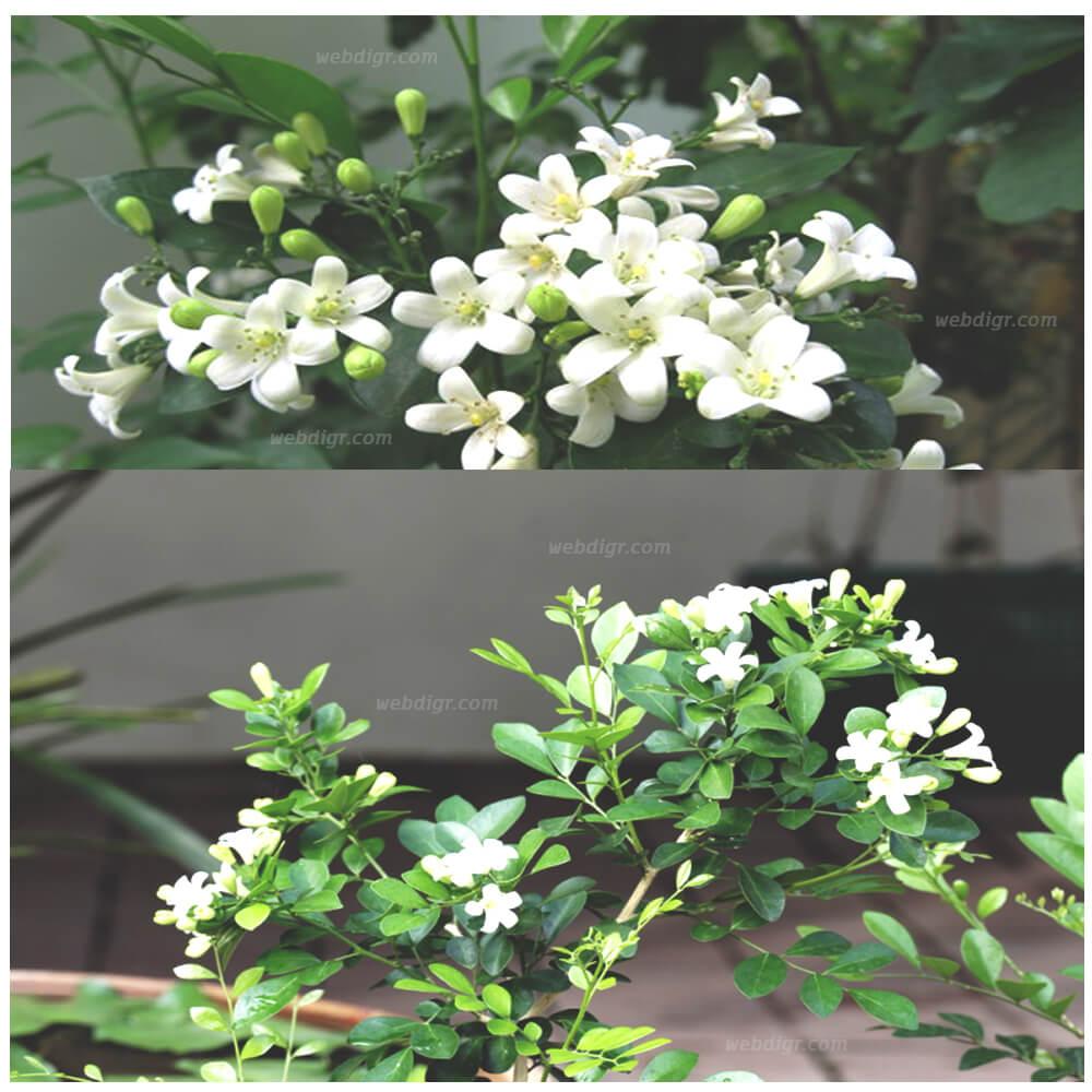 7 - ต้นแก้ว ต้นไม้มงคลของไทย