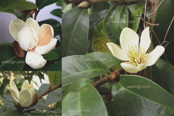 4 - ต้นจำปีแขก ไม้ดอกไม้ประดับดอกสามารถทำเป็นน้ำมันหอมระเหย
