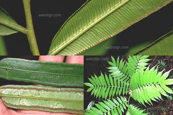 4 - ต้นว่านกีบแรด พันธุ์ไม้ประดับช่วยดูดซับสารพิษในอากาศได้เป็นอย่างดี