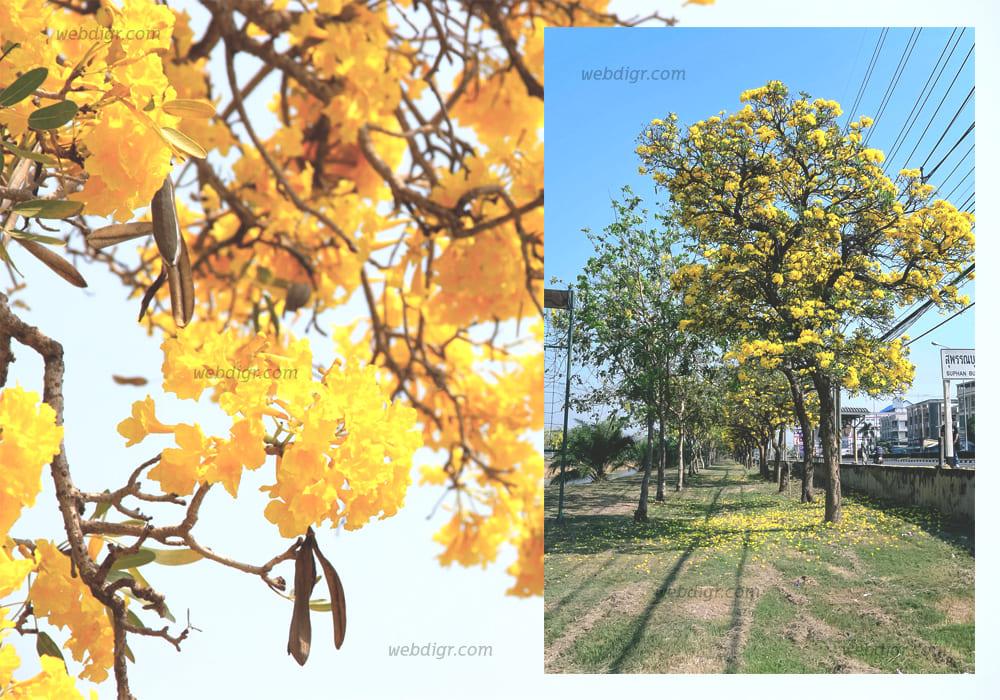 """ต้นเหลืองปรีดียาธร4 - """" ต้นเหลืองปรีดียาธร """" ไม้ยืนต้นที่ให้ร่มเงาได้ดี"""