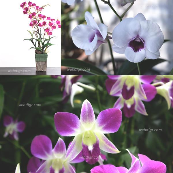 5 - กล้วยไม้หวาย ไม้ดอกไม้ประดับที่มีดอก และลวดลายสวยงาม