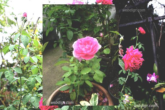 .jpg - ต้นกุหลาบมอญ พันธุ์ไม้ดอกไม้ประดับที่มีคุณในการใช้ประโยชน์หลาย ๆ ด้าน