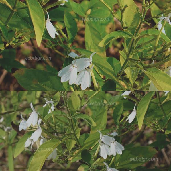 ต้นทองพันชั่ง3 - ต้นทองพันชั่ง พรรณไม้ล้มลุกกึ่งไม้พุ่มที่ได้รับในการนิยมนำมาปลูก