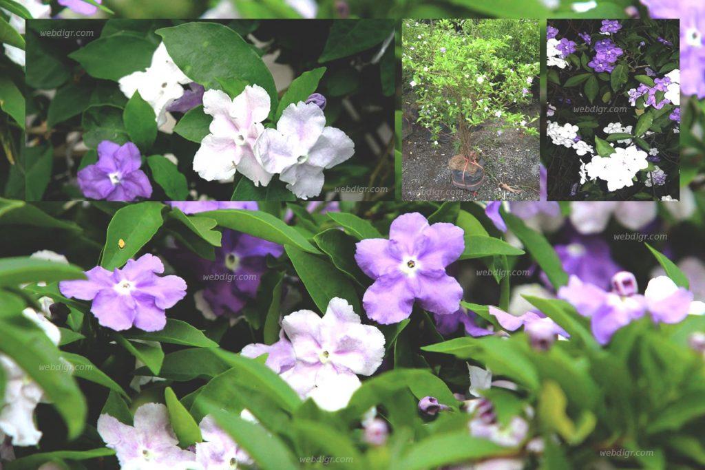 "4 1024x683 - "" ต้นพุดสามสี "" ต้นไม้ดอกไม้ประดับ ที่มาในทรงไม้พุ่มขนาดกลาง"