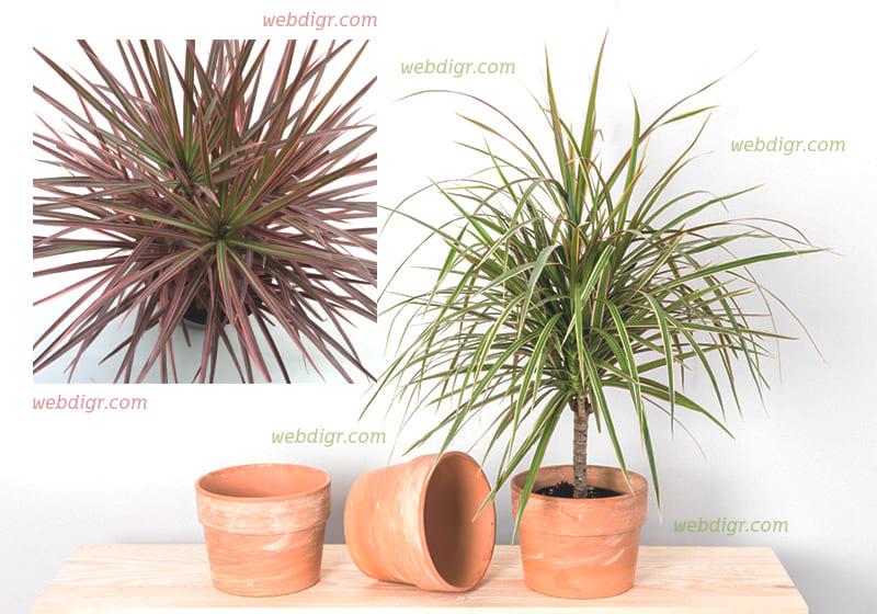 ต้นเข็มริมแดง2 - ต้นเข็มริมแดง ต้นไม้ประดับที่จะช่วยดูดสารพิษเป็นพืชที่มีความทนทาน
