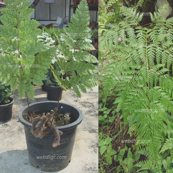 4 - ต้นเฟิร์นนาคราช พันธุ์ไม้ประดับตกแต่งสวน ช่วยเพิ่มความชุ่มชื้นให้กับอากาศ