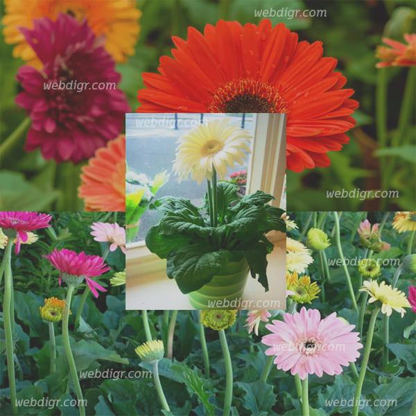 4 - ต้นเยอบีร่า ต้นไม้ประดับที่มีดอกที่สวยงามและสีสันสดใส