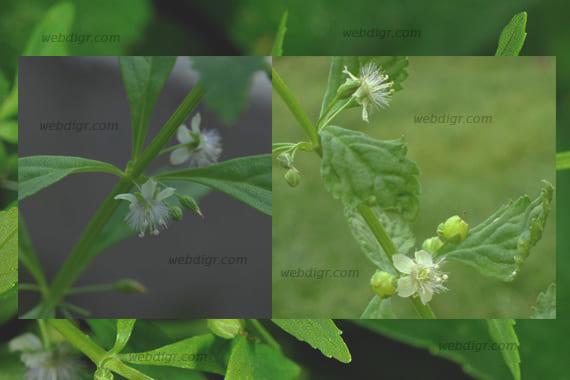 ต้นกรดน้ำ1 - ต้นกรดน้ำ พันธุ์ไม้ที่มีสรรพคุณในการช่วยรักษาโรคเบาหวาน และใช้เป็นยาแก้ไอ