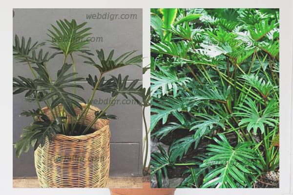 5 - ต้นซานาดู ต้นไม้ที่ได้รับการการันตีว่าจะช่วยดูดสารพิษภายในอากาศได้เป็นอย่างดี
