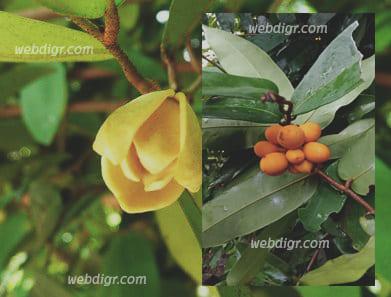 2 - ต้นนมแมว ต้นไม้ที่นิยมปลูกและนำดอกไปทำน้ำมันหอมระเหย แต่งกลิ่นอาหาร