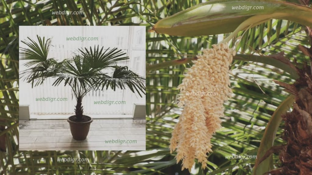 3 1024x576 - ต้นปาล์มสิบสองปันนา พันธุ์ไม้ประดับตระกูลปาล์มที่มีลักษณะเด่นเป็นรูปขนนก