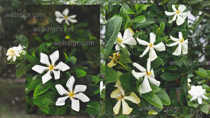 3 - ต้นพุดเวียดนาม ต้นไม้ที่มีดอก จะส่งกลิ่นหอมอ่อน ๆ ตลอดวัน