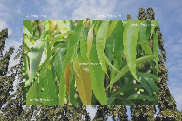 2 - ต้นอโศกอินเดีย พันธุ์ไม้ยืนต้นที่มีความสูงที่จะให้ร่มเงากับบริเวณบ้านได