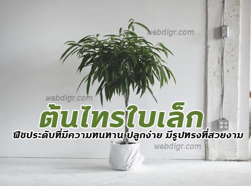 ต้นไทรใบเล็ก