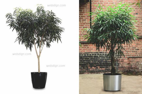 3 - ต้นไทรใบเล็ก พันธุ์ไม้ที่เป็นที่นิยมนำมาปลูกประดับอาคาร