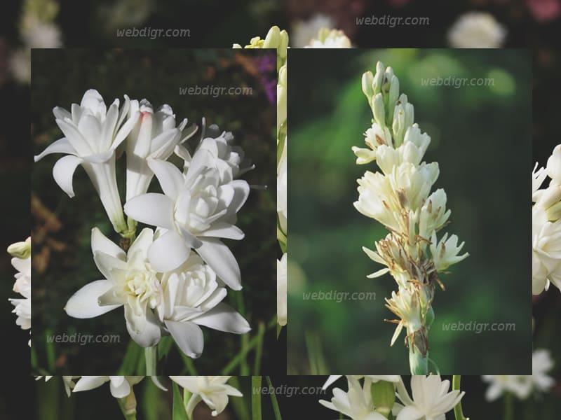 ต้นซ่อนกลิ่น1 - ต้นซ่อนกลิ่น พันธุ์ไม้ดอกไม้ประดับที่ได้รับความนิยมในการปลูก