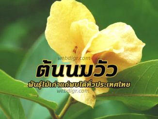 5 326x245 - ต้นนมวัว พันธุ์ไม้เก่าแก่ที่พบได้ทั่วภูมิภาคของประเทศไทย
