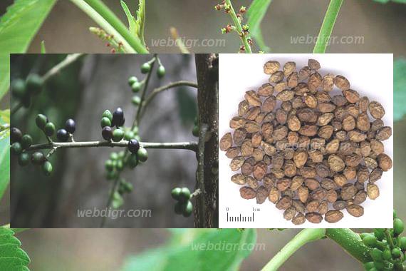 ต้นราชดัด3 - ต้นราชดัด พันธุ์ไม้ที่เป็นพืชที่มีถิ่นกำเนิดมาจากทวีปเอเชีย