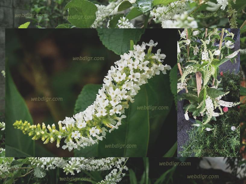 ต้นราชาวดี1 - ต้นราชาวดี พันธุ์ไม้ที่มีดอกไม้ที่เป็นจุดเด่น มีสีสันที่สวยสดใส และมีกลิ่นหอมแรง