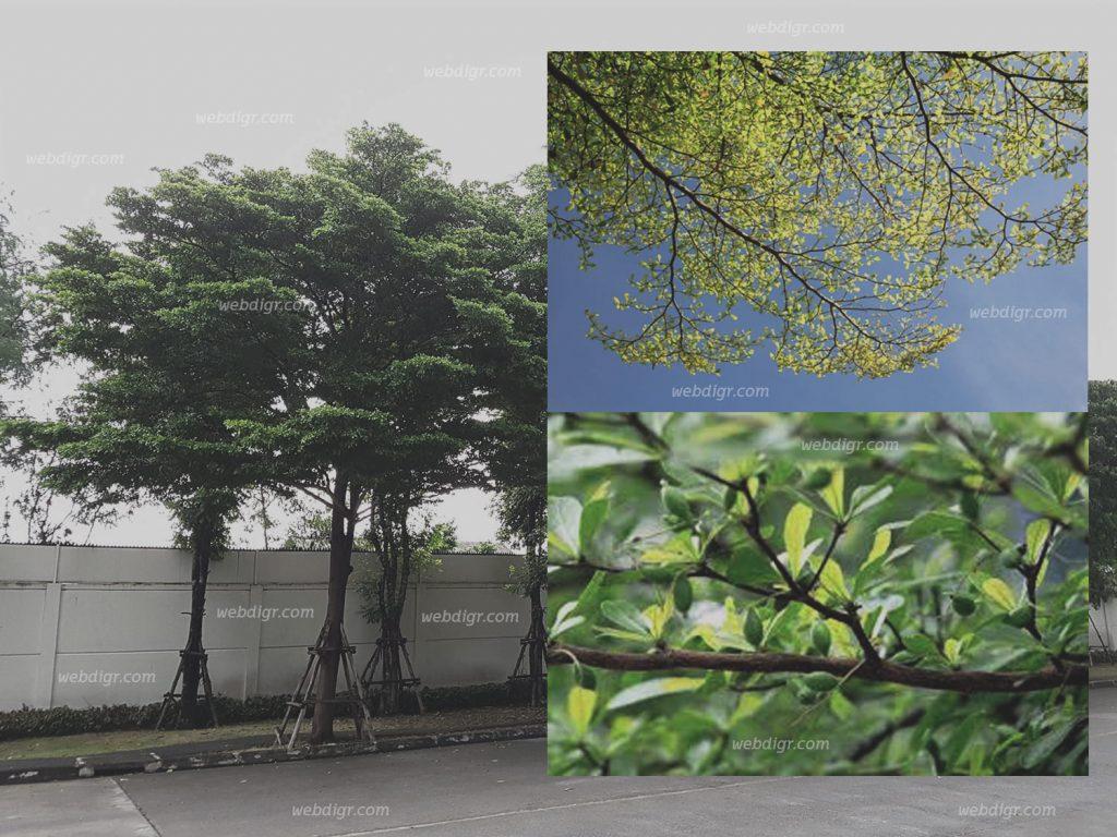 ต้นหูกระจง1 1024x768 - ต้นหูกระจง พันธุ์ไม้ที่นิยมนำมาปลูก เพื่อให้ร่มเงากับบ้าน