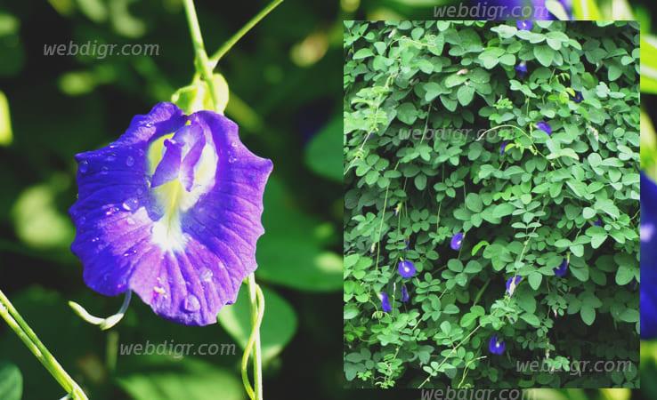 ต้นอัญชัน - ต้นอัญชัน เป็นพืชสมุนไพรนิยมนำมาปลูกประดับตามสวน ปลูกตามบริเวณบ้าน