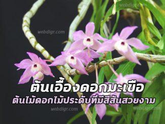ต้นเอื้องดอกมะเขือ