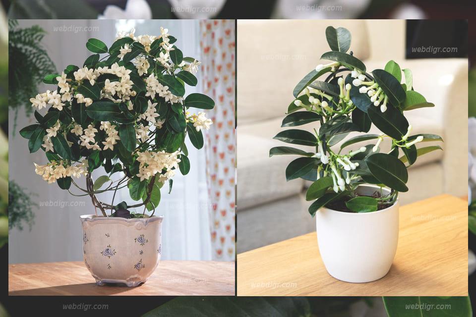 """ต้นชะลูดช้าง3 - ต้นไม้ที่มีดอกขนาดเล็กและจัดได้ว่าเป็นพันธุ์ไม้เลื้อยขนาดเล็ก """"ต้นชะลูดช้าง"""""""