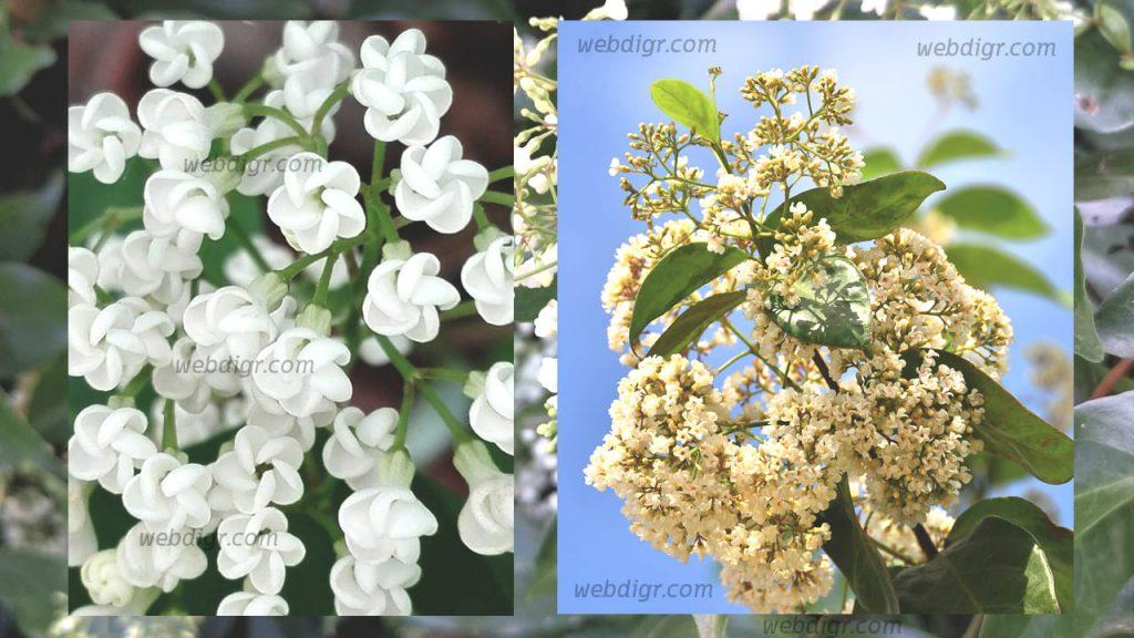2 1024x576 - ต้นช่อมาลี ต้นไม้สวยงาม รวมไปถึงยังมีดอกที่มีกลิ่นหอมตอนเวลาพลบค่ำ